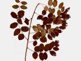 Čínská lékořice (Glycyrrhiza uralensis)