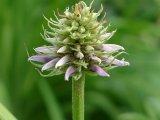 květ lékořice lysé