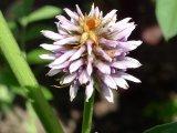 květ lékořice