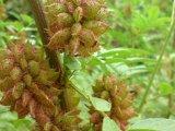 lékořice před květem