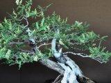 lékořice pěstovaná jako bonsai